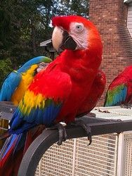 Gaia is an adoptable Macaw Parrot in Winston Salem, NC. Gaia is a very petite Scarlett Macaw.� Gaia will need to go to a experienced bird home. We require application (which can be downloaded from our...