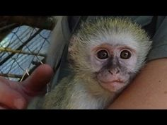 Save Baby Vervets One Monkey At A Time #NikelaAfrica