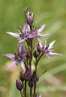 Swertia perennis 230705.jpg