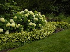 Hydrangeas with hosta border--I like the idea of making the border wavy, so you can plant something else in the curve. Adds more dimension!