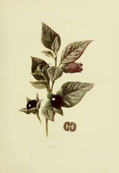 atropa belladonna illustration - Google Search