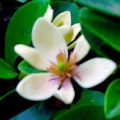 Michelia figo Coco - slightly larger flower than port wine and more fragrant.  Grows to 3m excellent hedging in full sun or shade. Top fence. Michelia at Wairere Nursery