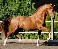 Andalusian stallion, Junquillo MAC.