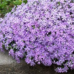Trough Gardens-Creeping phlox - low, mounding plant w/stiff, deep green, needlelike leaves w/pink, purple. Pink And White Flowers, Lavender Flowers, Purple Flowers, Lavender Blue, Pink Purple, Phlox Flowers, Pretty Flowers, Landscaping With Rocks, Front Yard Landscaping