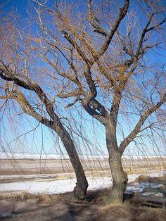 Winter Willow 2