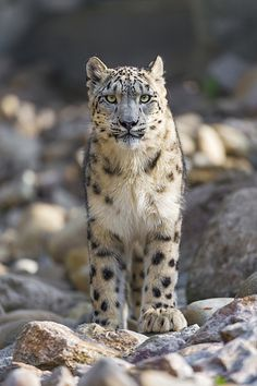 Serious and standing snow leopard