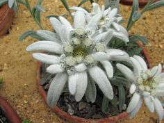 Alpine plants for a rockery - Leontopodium alpinum (Edelweiss, Edelweiss, every morning you greet me)