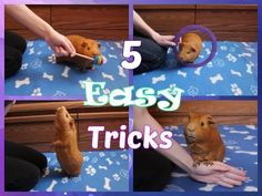 Here you can find tutorial videos for teaching your guinea pig to do tricks, agility, and more! Written tutorials and more information can be found at guinea. Diy Guinea Pig Toys, Diy Guinea Pig Cage, Guinea Pig House, Pet Guinea Pigs, Guinea Pig Care, Guinea Pig Funny, Guinie Pig, Guinea Pig Accessories, Class Pet