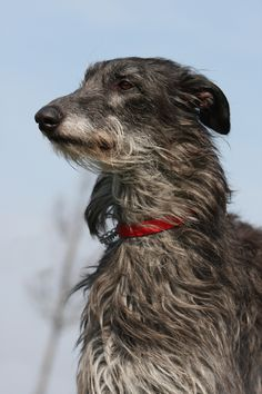 Hohoho, I finally got to take a photo of this breed (= Scottish Deerhound - yay! They are not very common and yes, they are related to the heavier and t. The scots Pet Dogs, Dogs And Puppies, Dog Cat, Doggies, Scottish Deerhound, Irish Wolfhounds, Magyar Agar, The Perfect Dog, Lurcher
