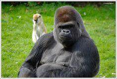"""Ce gorille """"dos argenté"""" est une des attractions du zoo parc de Beauval.  Plus d'info sur ce zoo. www.zoobeauval.com"""