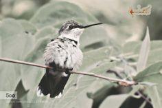 Hummingbird Ruffles by Rybirdmusic. Please Like http://fb.me/go4photos and Follow @go4fotos Thank You. :-)