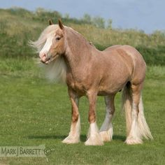 palomino Gypsy Vanner Horse stallion