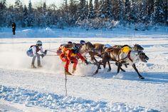 Reindeer race, Levi, Lapland Finland