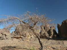 Acacias in Tassili n'Ajjer National Park