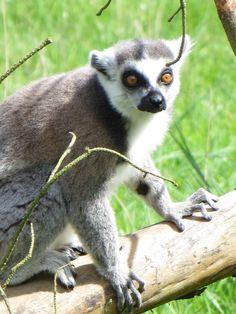 lemur walk through at Twycross Zoo