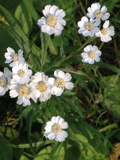 Silbergarbe - was sagt sie dem Menschen?  Blütenessenz zur Zeit im Selbstversuch Plants, Natural Medicine, Communication, People, Heart, Planters, Plant, Planting