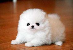 Suche einen Zwergspitz !!!! » Hunde