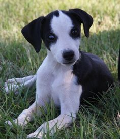 Meet 10/04 pups a cute Mountain Feist puppy for sale for