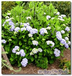 Hydrangea macrophyla Nigra, Exposure:    Partial Shade  Size in 10 yrs:    5ft - 6ft tall  Hardiness:    Zone 6 - 9  Growth Habit:    Medium, prune after bloom