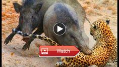 Documentary Animals wild animals documentary crocodile attacks discovery documentary animal HD  You wont be able to keep your eyes off the screen for minutes Lets watch and feel Subscribe my channel to watch more videos Please help me to  on Pet Lovers
