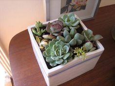 Desk Succulents