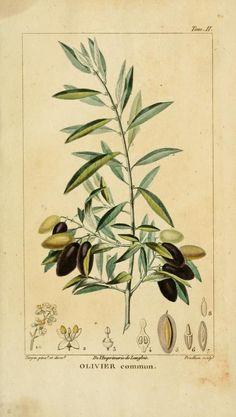 Olive, Histoire Naturelle des Principales Productions de l'Europe Méridionale, Antoine Risso, 1826.