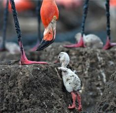 Did you know that flamingo chicks are born grey? They develop their beautiful pink color from the astaxanthin in the shells of the shrimp… Pink Flamingos, Bird Feathers, Pink Color, Amazing Photography, Birds, Pretty, Shrimp, Shells, Animals