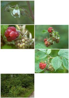 Dansk artsnavn Hindbær.  Spiselige dele. Allerbedst smager hindbær fiske, men holdbarheden er desværre ikke god, så forskellige former for tilberedning må man ofte ty til. Bærrene egner sig godt til frysning. Frosne bær kan sagtens anvendes til saft, syltetøj, tærter, smoothies, sorbet mm.   Anvendelse som lægeplante. Blade af Hindbær bliver i folkemedicinen bl.a. anvendt mod lidelser i mavetarmkanalen, som et véforstærkende middel under fødsler og mod for kraftig menstruation. Udtræk af…