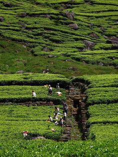 Workers at the plantations, Haputale, Sri Lanka Sri Lanka, Brunei, Maldives, Laos, Philippines, Timor Oriental, Tea Gardens, Paradise On Earth, Plantation