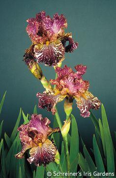 Bewilderbeast | Mid, schreiner's, planted driveway iris bed