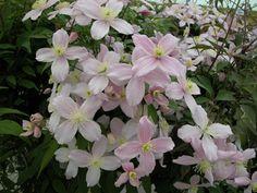 Vijver en Tuincentrum Pelckmans: Clematis montana var. rubens