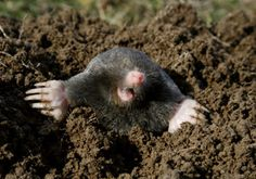 Moles are highly destructive and can ruin a garden and lawn. Use method #6 to get rid of this pesky creature....If you can't find castor oil, Exlax tablets work wonders when shoved down Mole holes...they are attracted to the chocolate scent