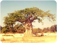 embondeiro -Angola