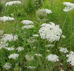Queen Anne's Lace..., a free gift of summer!