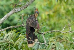 Foto cigana (Opisthocomus hoazin) por Ronaldo Koloszuk | Wiki Aves - A Enciclopédia das Aves do Brasil
