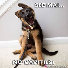 All the things I enjoy about the loyal German Shepherd Dog German Shepherd Breeds, German Shepherd Pictures, German Shepherd Puppies, German Shepherds, Aussie Puppies, Gsd Puppies, Most Popular Dog Breeds, Schaefer, Dog Pictures