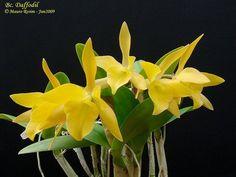 Cattleya daffodil