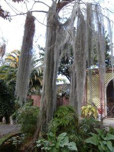 Etonnante longueur pour cette élégante Tillandsia Usneoide Air Plants, Garden, Plants, Lawn And Garden, Gardens, Outdoor, Home Landscaping, Tuin