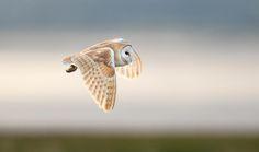 Barn owl by Nick Holland