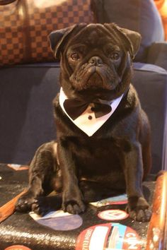 Pugs with bowties are so elegant!
