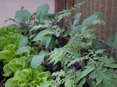 Daher habe ich hier einmal eine Tabelle zusammengestellt, von Pflanzen die gut zusammen passen bzw. die man besser nicht zusammen pflanzt.Die Pflanzen sind besser geschützt vor Bodenpilzen und in der Mischkultur unterstützen sich die Pflanzen gegenseitig.