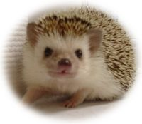 A hedgehog. As a pet. Do you think naming it Sonic would be cliche?
