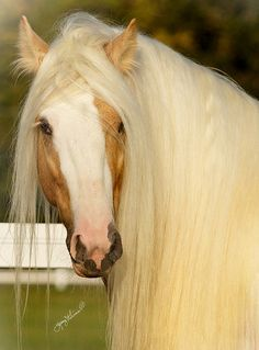 Image result for flickr photos gypsy horse