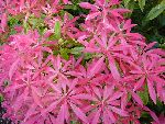 Pieris Japonica  Forest Flame  An evergreen, upright shrub ( can grow to 12 feet by 6 feet  Oval glossy leaves are brilliant red when young turning pink, then cream, then finally dark green  White flowers are borne with the young leaves in early spring