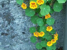 En gladfärgad **slingerkrasse** väller över muren. 'Little Gem Mix' från Suttons. Foto: Sylvia Svensson
