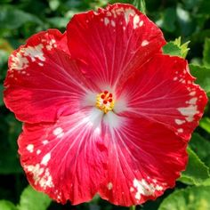 Hibiscus 'Happy Heart' - the warmer your climate, the more white spots appear.