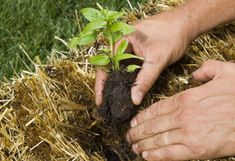 Gardening in straw bales! Garden dirt no good? Just don't have dirt, period? Here's how to build a straw bale garden Hay Bale Gardening, Container Gardening, Straw Bales, Hay Bales, Permaculture, Organic Gardening, Gardening Tips, Modern Farmer, Garden Projects
