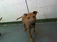SAFE --- PUPPY in Miami KILL SHELTER BOBBY  (A1583221) I am a male brown Bull Terrier.   The shelter staff think I am about 13 weeks old.   I was found as a stray and I may be available for adoption on 12/30/2013. https://www.facebook.com/photo.php?fbid=690342024333537&set=a.470960256271716.114441.191859757515102&type=3&theater