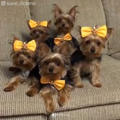 Dog videos for all dog lovers © All credits reserved to their respective owners. Click the link to visit our pet store. Cute Teacup Puppies, Cute Dogs And Puppies, Baby Dogs, Yorkie Puppy For Sale, Yorkie Dogs, Yorkies, Yorky Terrier, Yorshire Terrier, Cute Puppy Videos