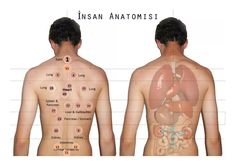 Hijama points corresponding with anatomy of organs